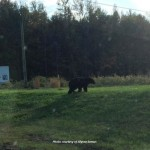 Black bear walking along Route 206 on 10/22/13