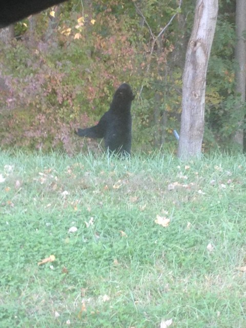 Bear sighted near Route 206 and Route 68 on 10/22/13